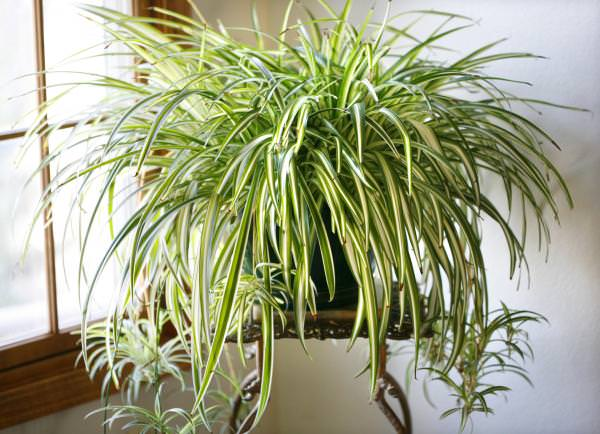 14 Bathroom Plant Ideas That Will Brighten Your Home - Spider Plant