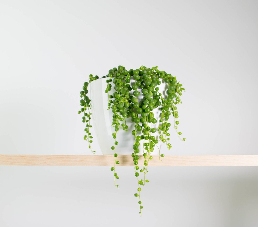 14 Bathroom Plant Ideas That Will Brighten Your Home - String of Pearls