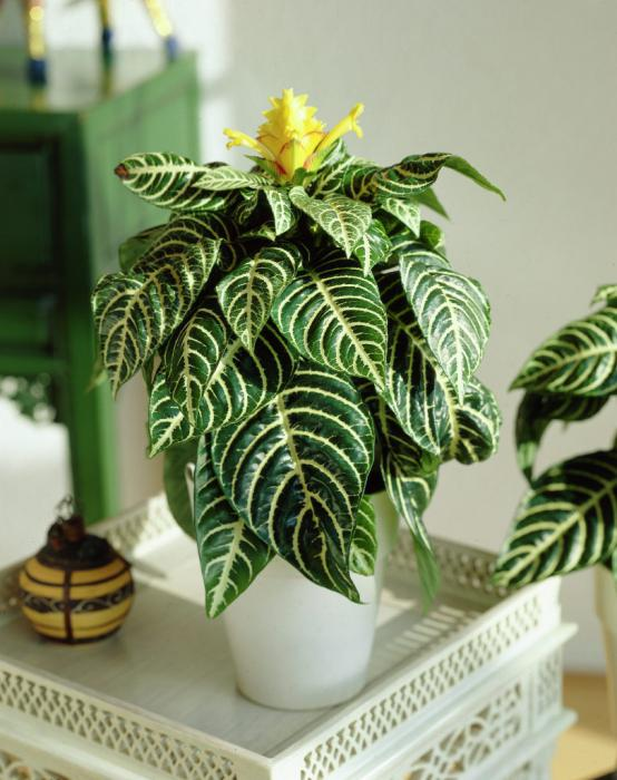 14 Bathroom Plant Ideas That Will Brighten Your Home - Zebra Plant